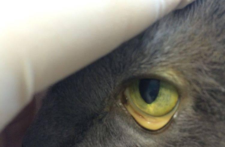 Что такое гемобартонеллез кошек