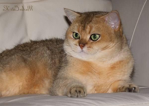 Золотая шиншилла — кошка с особым характером