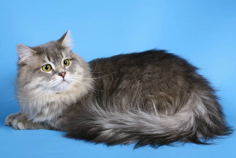 Шотландская прямоухая кошка (скоттиш страйт): 85 фото, описание, окрас, характер кошек