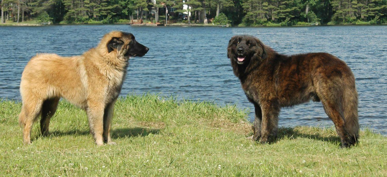 Португальская водяная собака (као де аква)