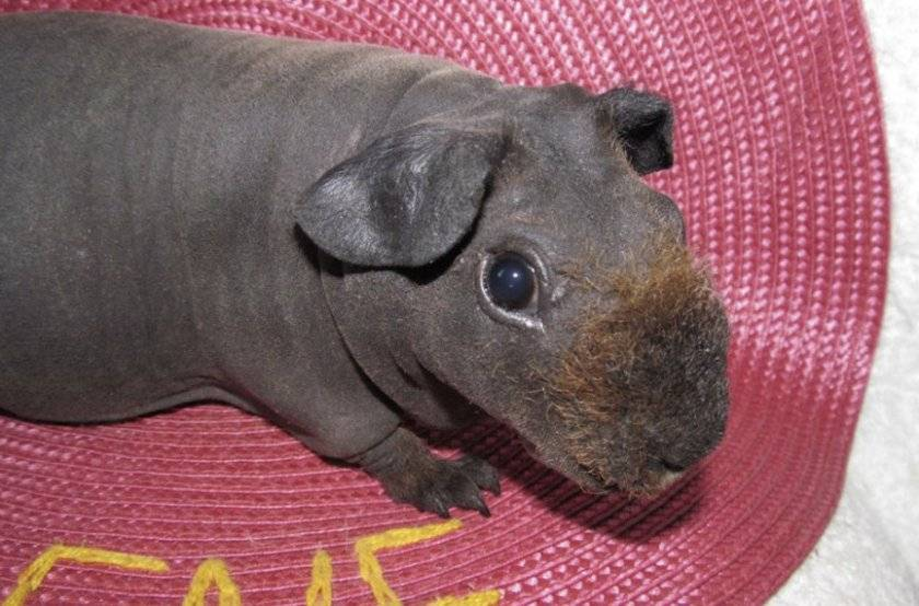 Лысая морская свинка скинни: уход и содержание, описание, особенности, цена, продолжительность жизни