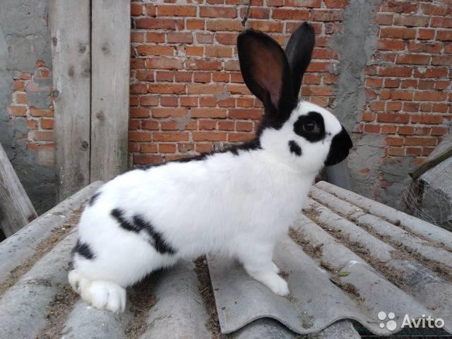 Кролик строкач: описание породы и характеристика, правила разведения