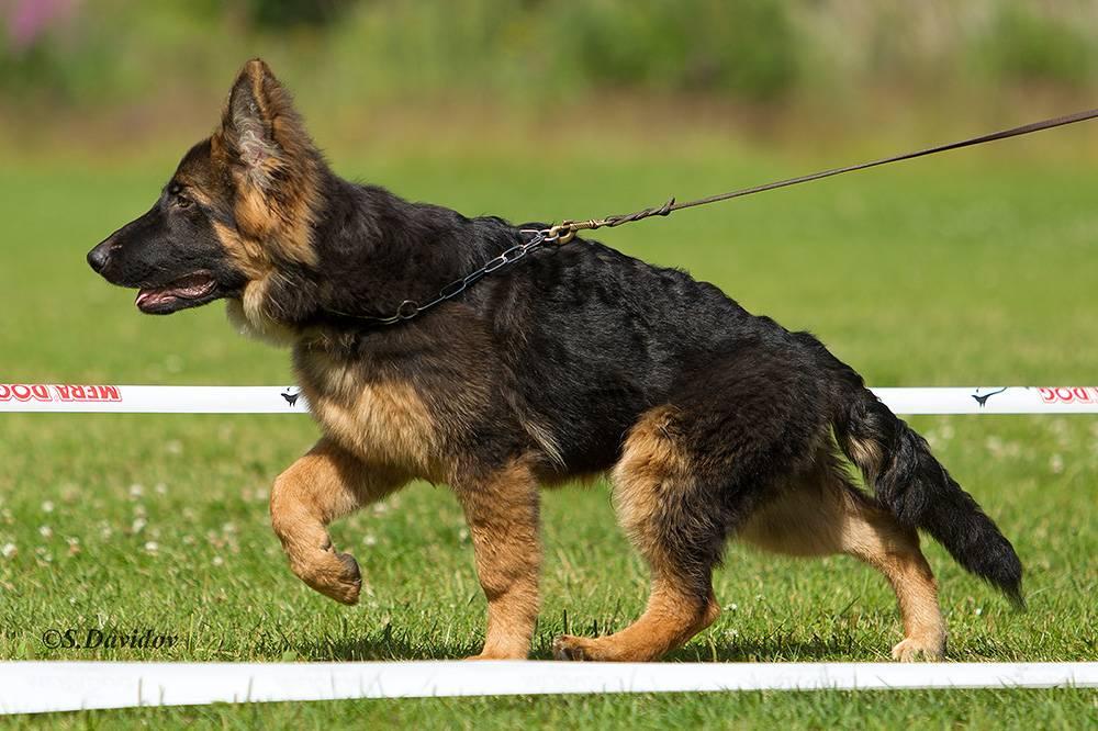Длинношерстная немецкая овчарка: стандарт, уход, дрессура