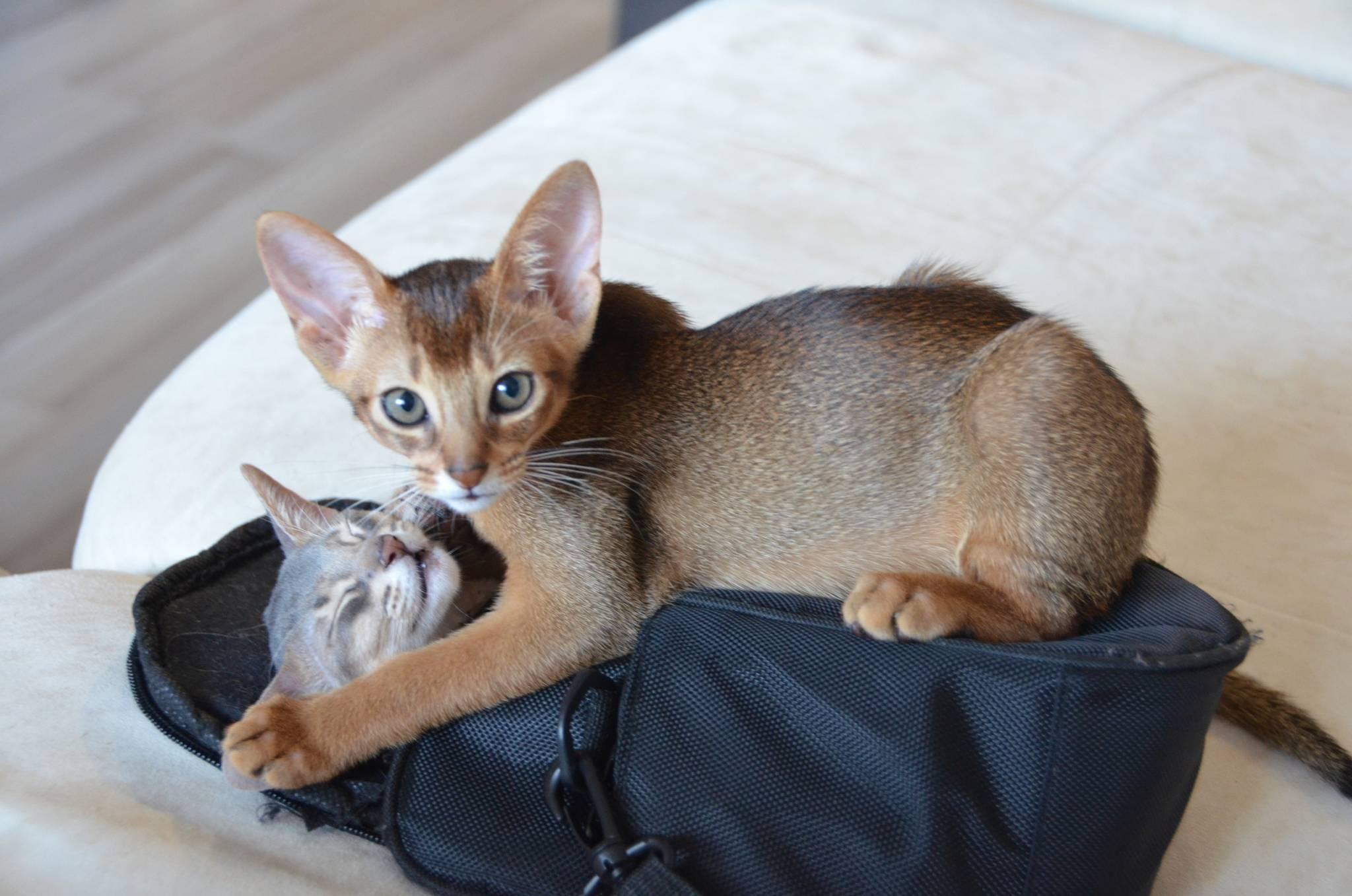 Абиссинская кошка: фото, описание, характер, содержание, отзывы