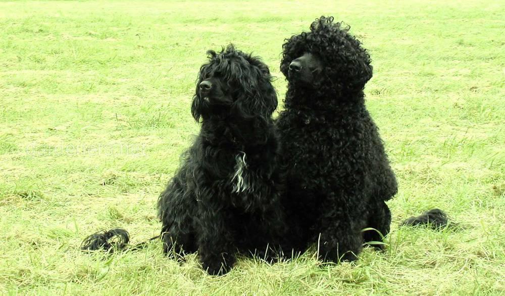 Португальская водяная собака — описание породы собак