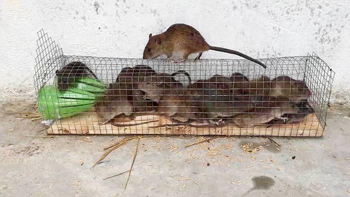Как поймать крысу: как делать крысоловки и ловушки своими руками в домашних условиях, фото и видео