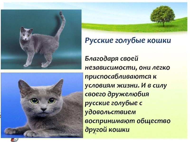 Особенности характера и породы русской голубой кошки