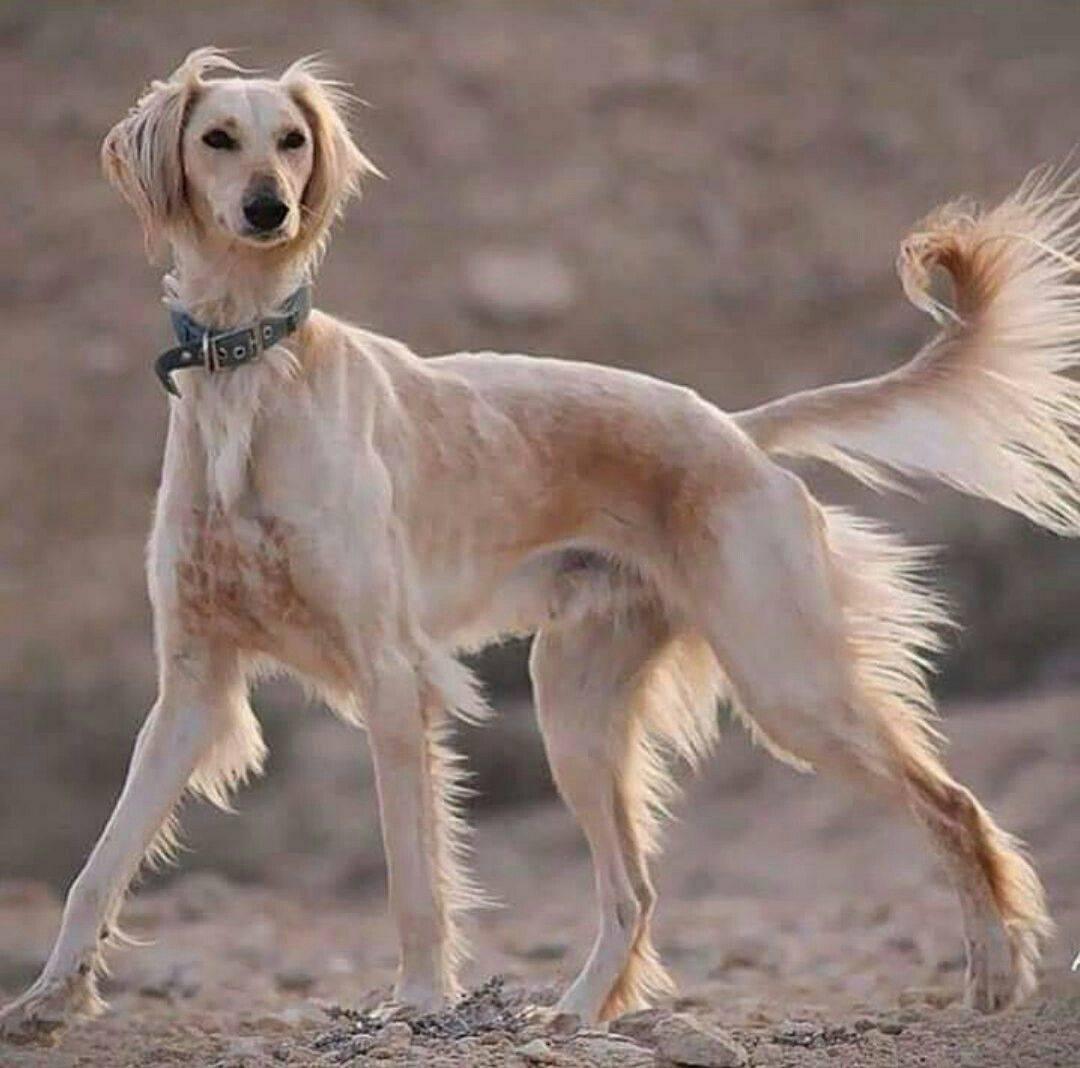 Порода собак салюки (персидская борзая)