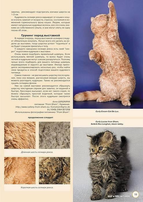 Селкирк рекс: описание породы и особенности содержания