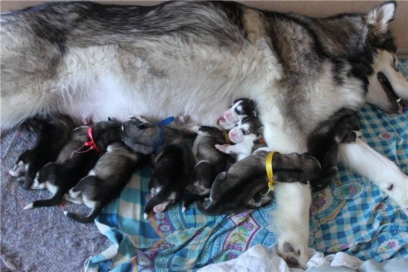 Беременность хаски: сколько длится, роды у собак
