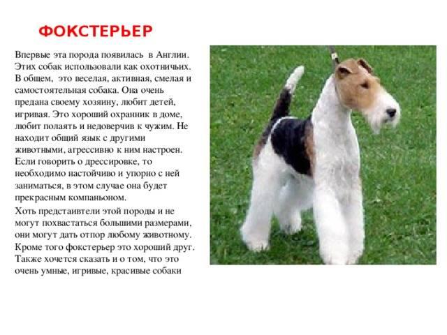 Фокстерьер собака. описание, особенности, уход и цена фокстерьера   sobakagav.ru