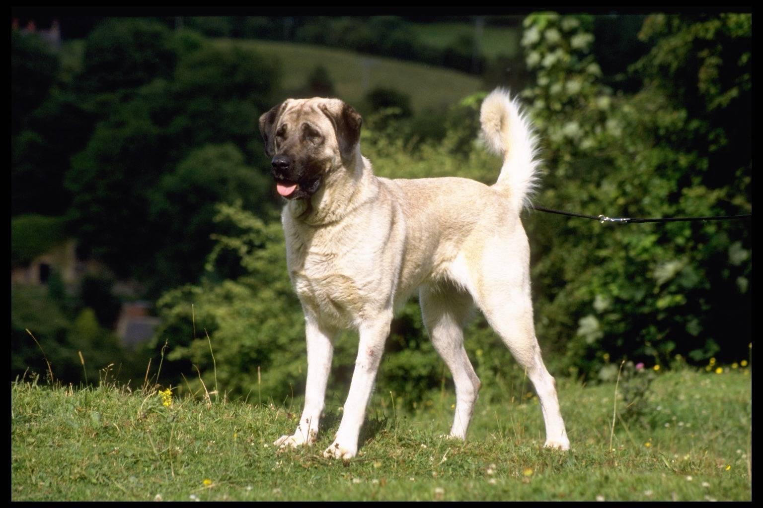 Кангал. собака с чувством собственного достоинства