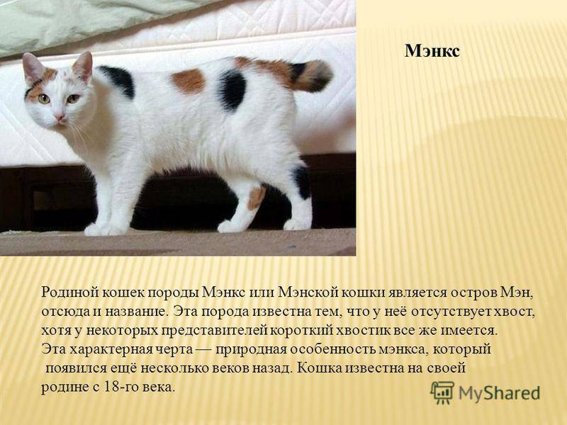 Сноу-шу: все о кошке, фото, описание породы, характер, цена
