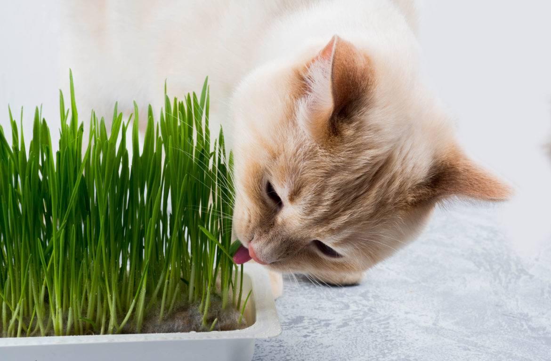 Зачем кошка ест траву? читайте здесь!