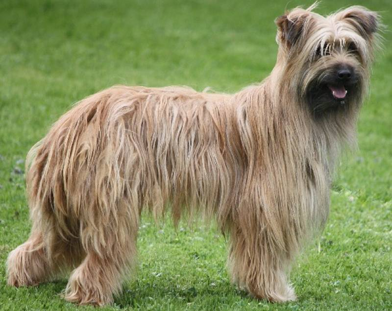 Пиренейская горная собака – описание и характер породы большой пиренейской овчарки
