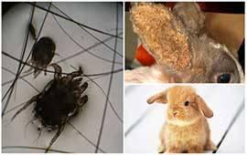 Блохи и кошки – опасности, последствия и способы лечения.