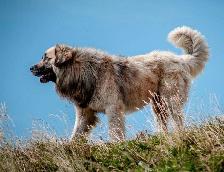 Румынская карпатская овчарка: внешний вид, характер, уход, здоровье (+ фото)
