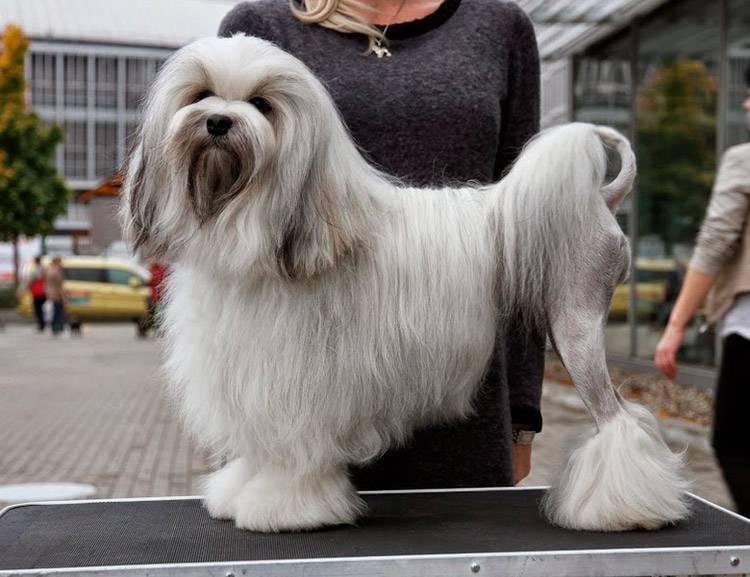 Собаки » породы » левхен (львиная собачка)