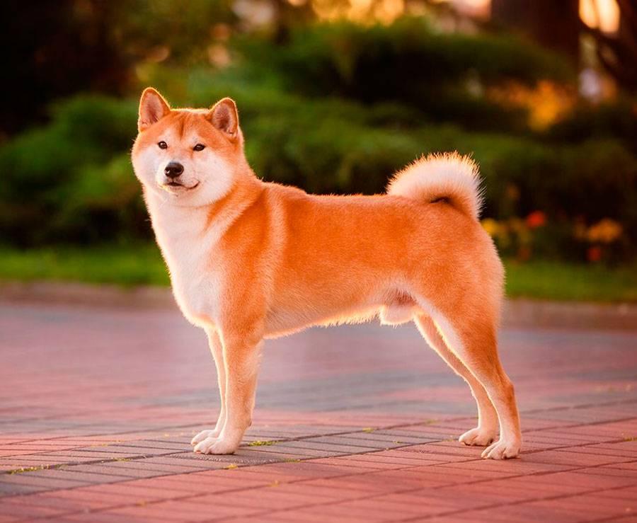 Характеристика взрослых собак и щенков породы сиба ину