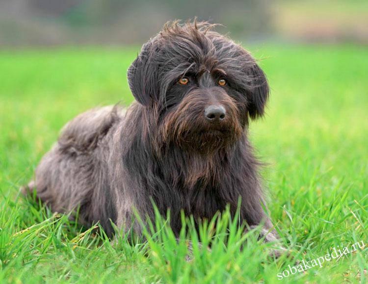 Пиренейская горная собака: описание породы с фото и видео