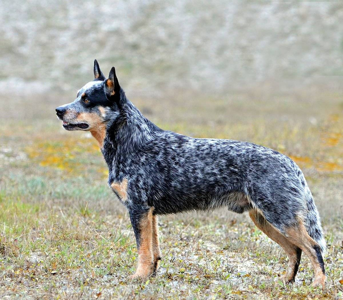 Австралийские пастушьи собаки: история породы, темперамент и правила ухода