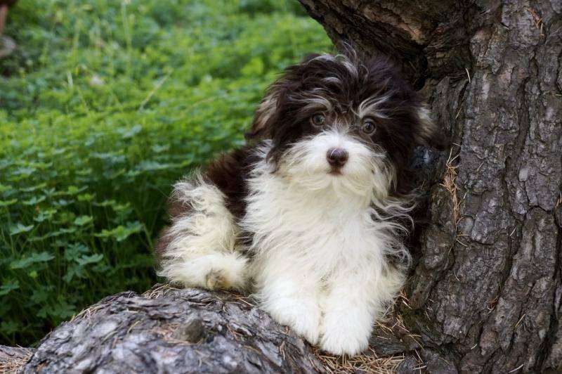 Гаванский бишон (хаванез): все о собаке, фото, описание породы, характер, цена