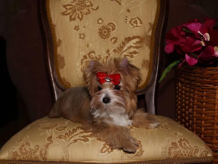 Русская салонная собака вики
