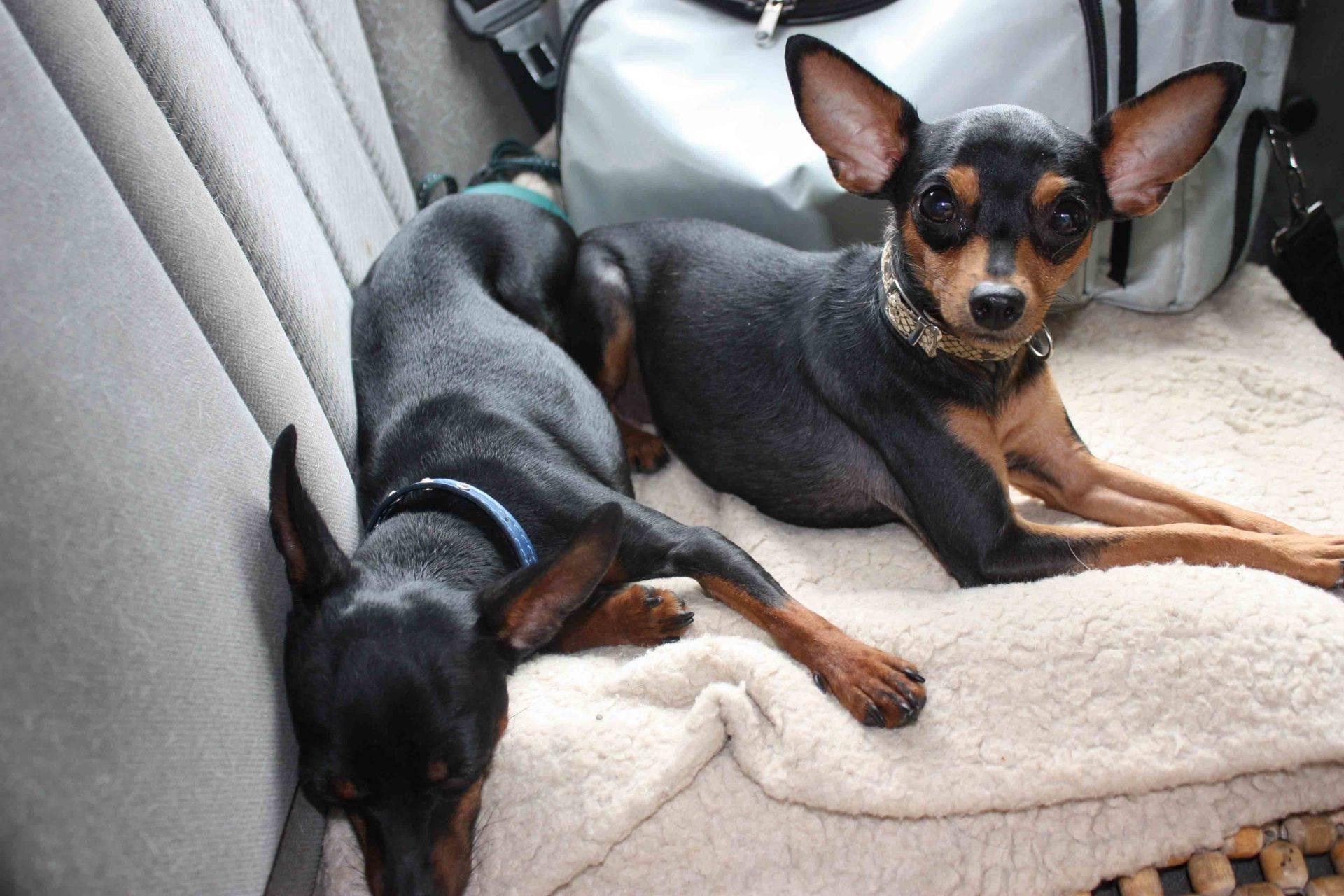 Крысарик собака. описание, особенности, уход и цена крысарика | животный мир