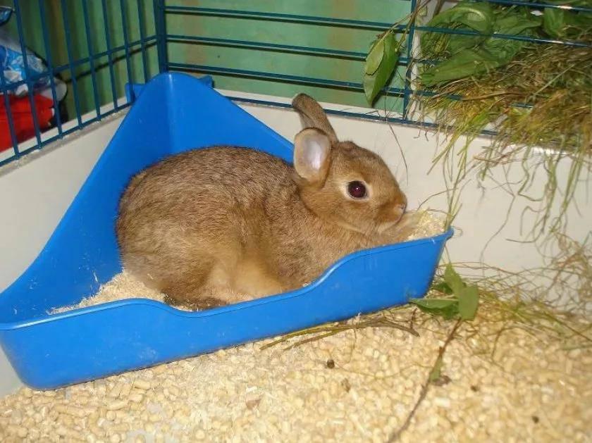 Как приучить декоративного кролика к лотку (туалету)