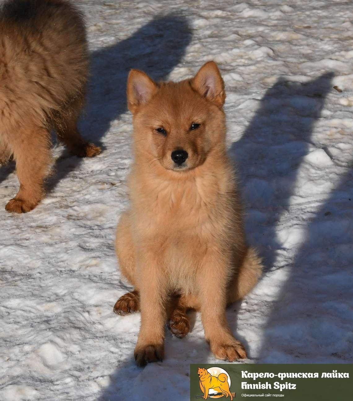Прекрасный охотник – финский шпиц или карело-финская лайка