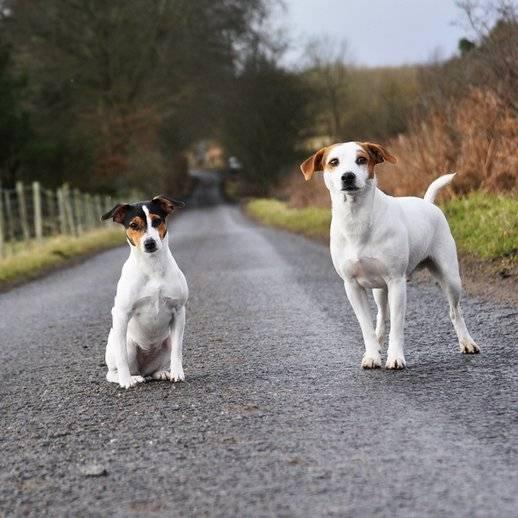 Датско-шведская фермерская собака — википедия