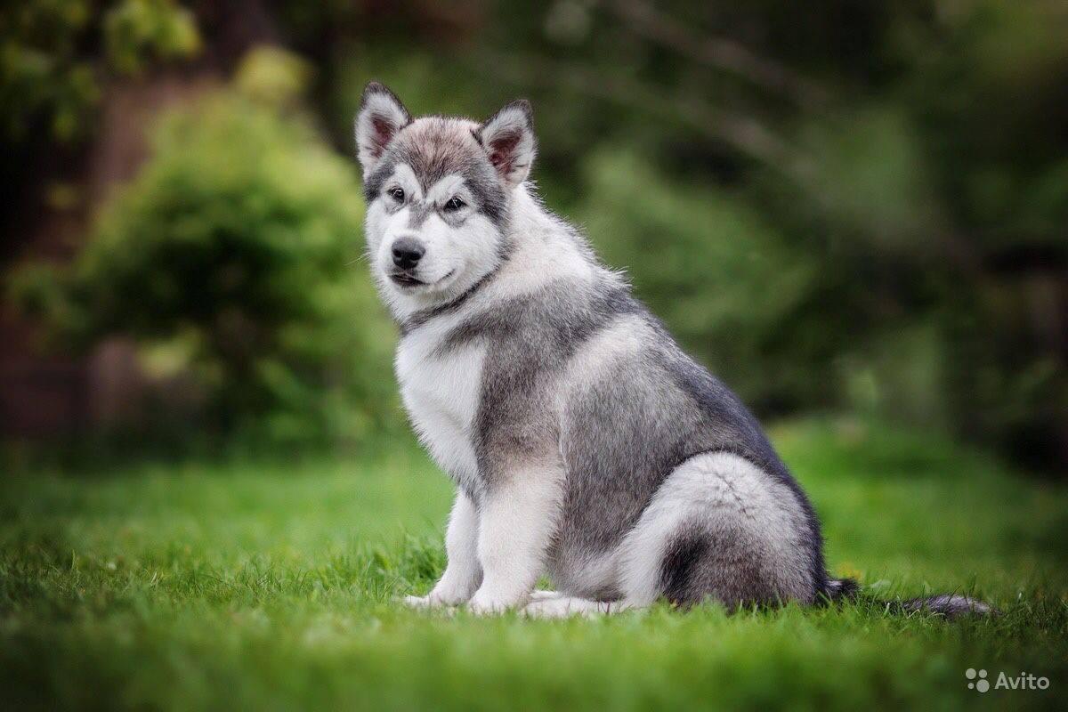 Собака маламут: отзывы собаководов. аляскинский маламут: описание, история, характер собаки :: syl.ru