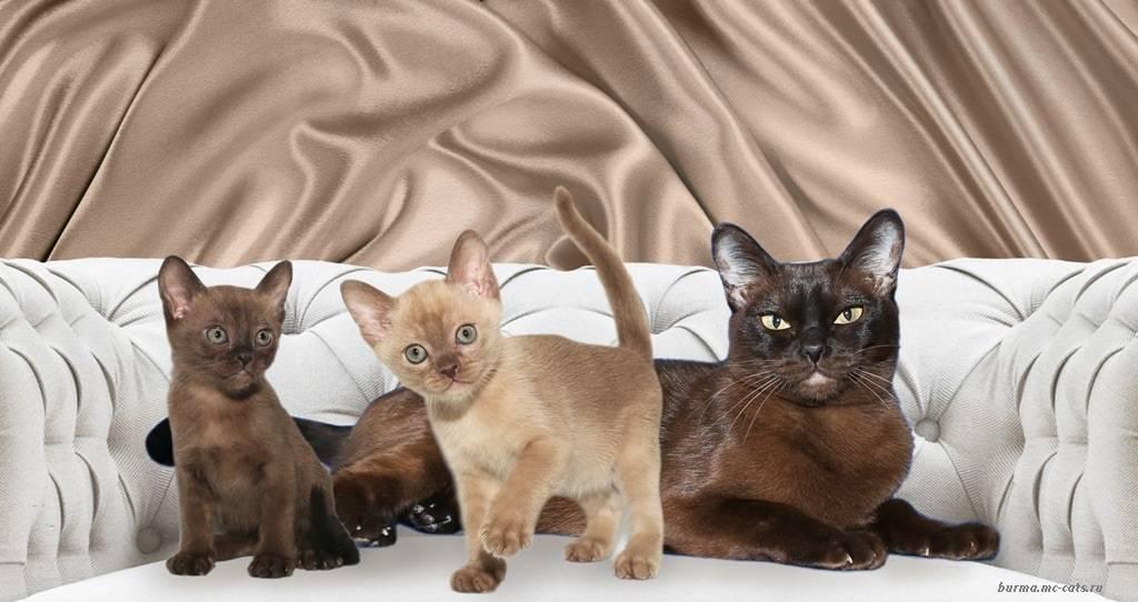 Порода кошек бурмилла:  фото, описание, характер, уход