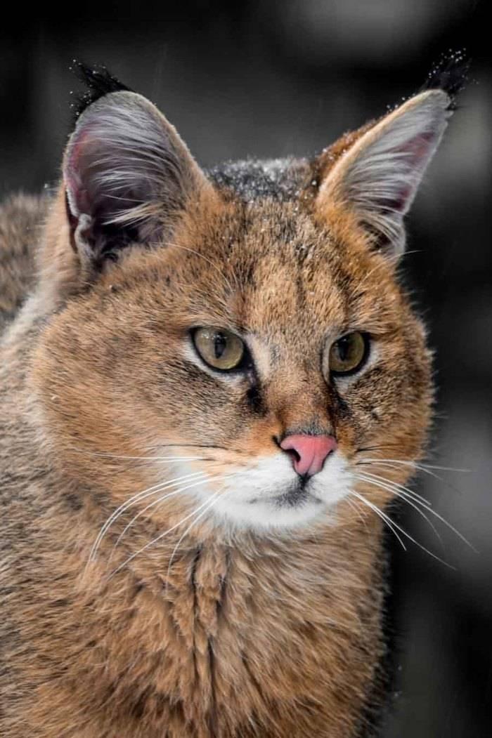 Камышовый кот: природа или порода?