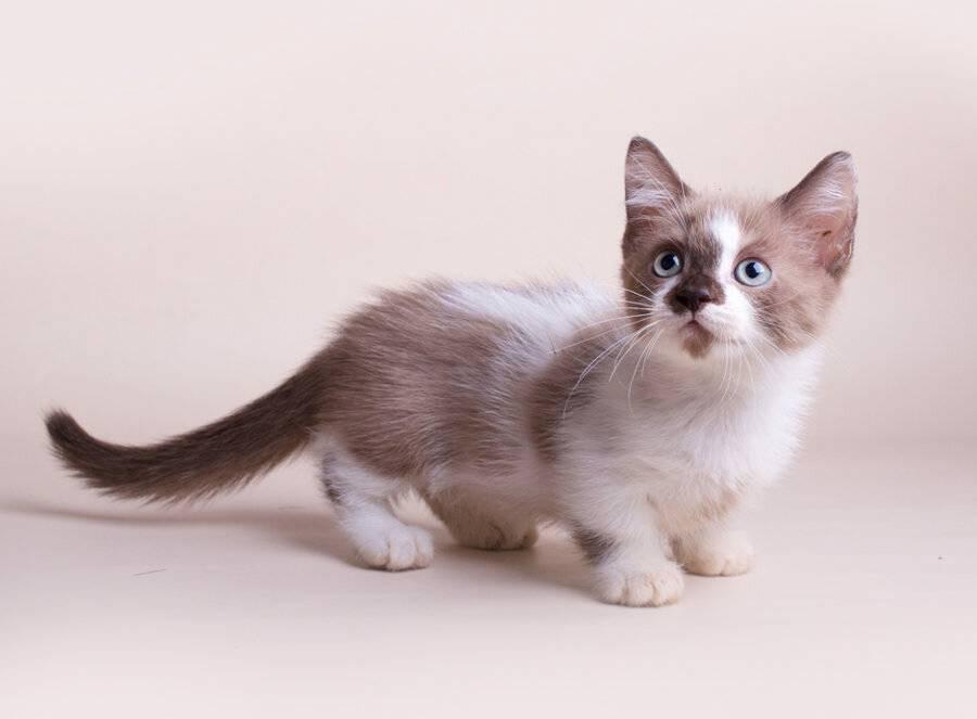 Порода кошек манчкин описание породы, характер, здоровье