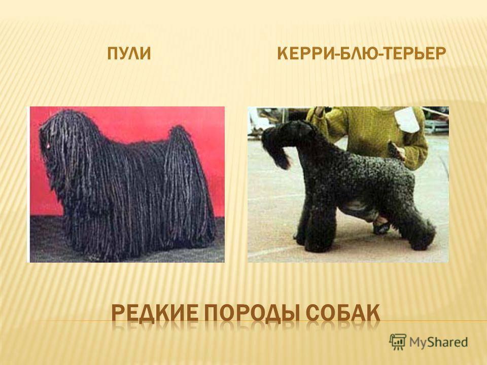 Замечательная собака керри-блю-терьер — истинный ирландец