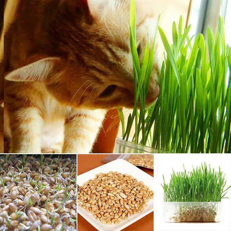 Трава для кошек: какую едят и как вырастить в домашних условиях
