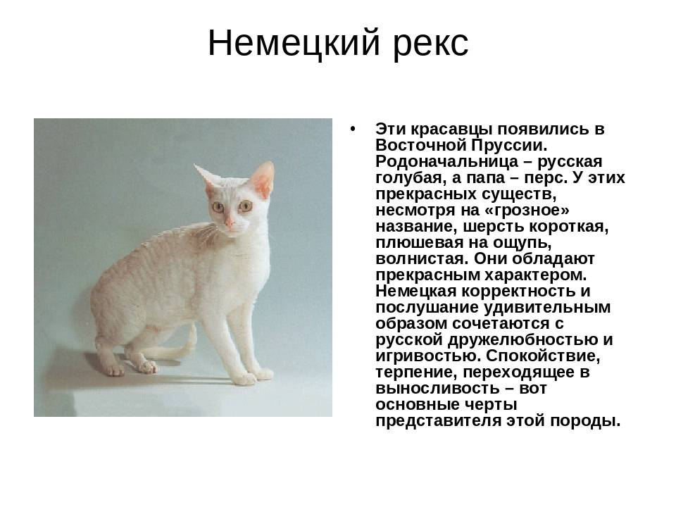 Немецкий рекс: фото и описание породы кошек (характер, уход и кормление)