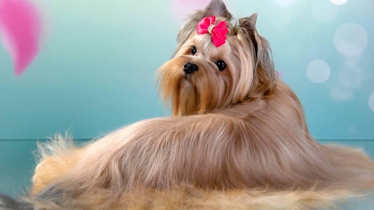Описание русской салонной собаки с фото: особенности породы и рекомендации по уходу