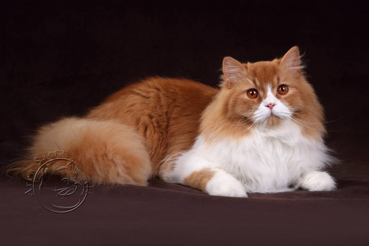 Длинношерстные кошки  31 длинношерстная порода с названиями и фото