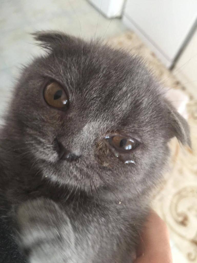 """Слезятся глаза у кошки -  что делать, совет ветеринара в москве. ветеринарная клиника """"зоостатус"""""""