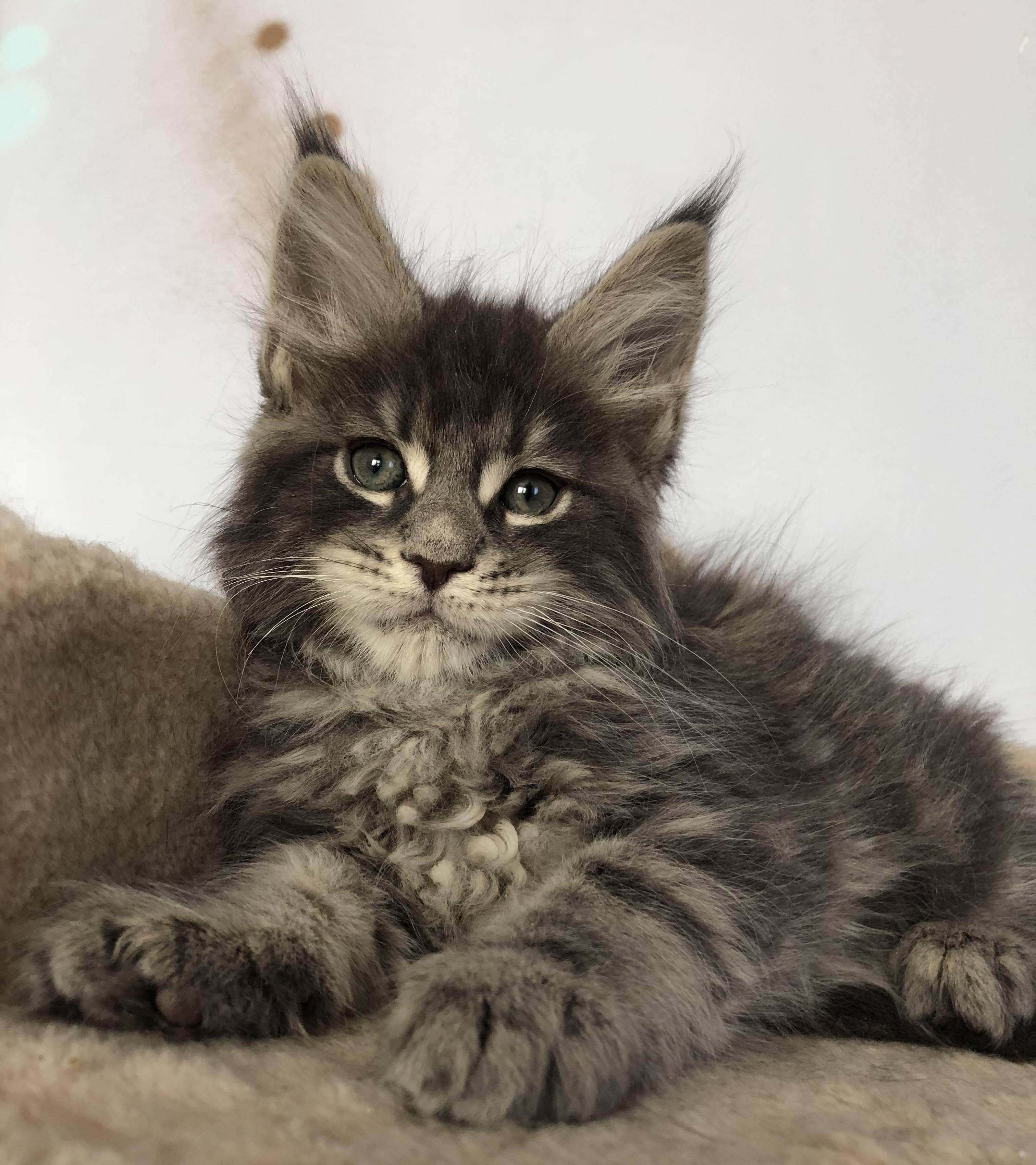 Помесь мейн-куна и других кошек, метис мейн-куна и британца, котенок-полукровка