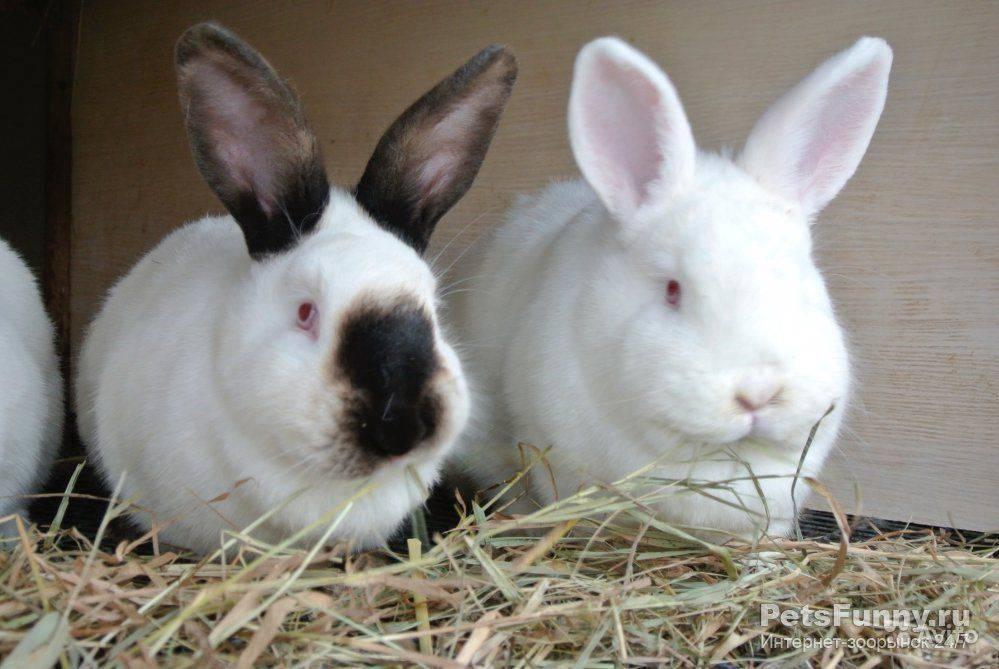 ✅ кролики породы новозеландская белая - питомник46.рф