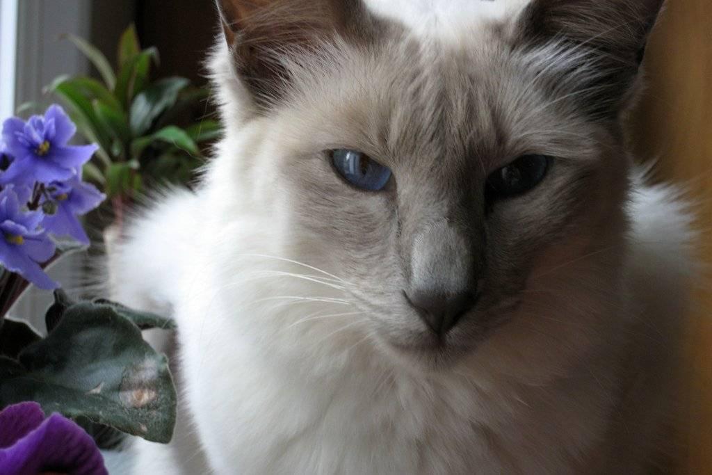 Порода кошки балинез или балинезийская: характер, описание