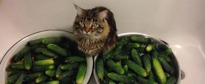 Почему коты боятся огурцов: причины, психология