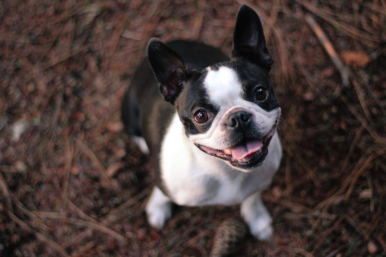 Бостон-терьер (53 фото): описание бостонской породы. сравнение с французским бульдогом. содержание щенков и взрослых собак. отзывы владельцев