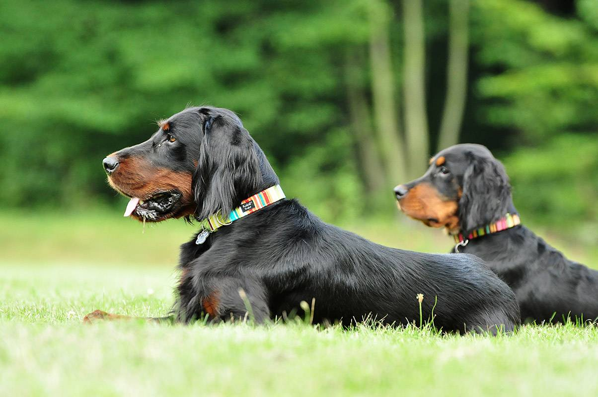 Характеристика собак породы шотландский сеттер (сеттер-гордон) с отзывами и фото