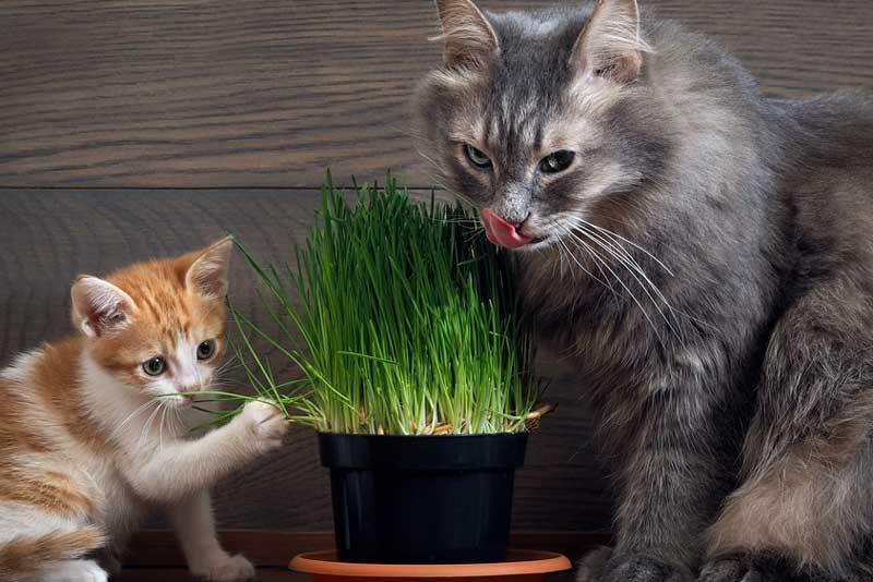 Почему кошки едят траву? и какую траву им можно есть?