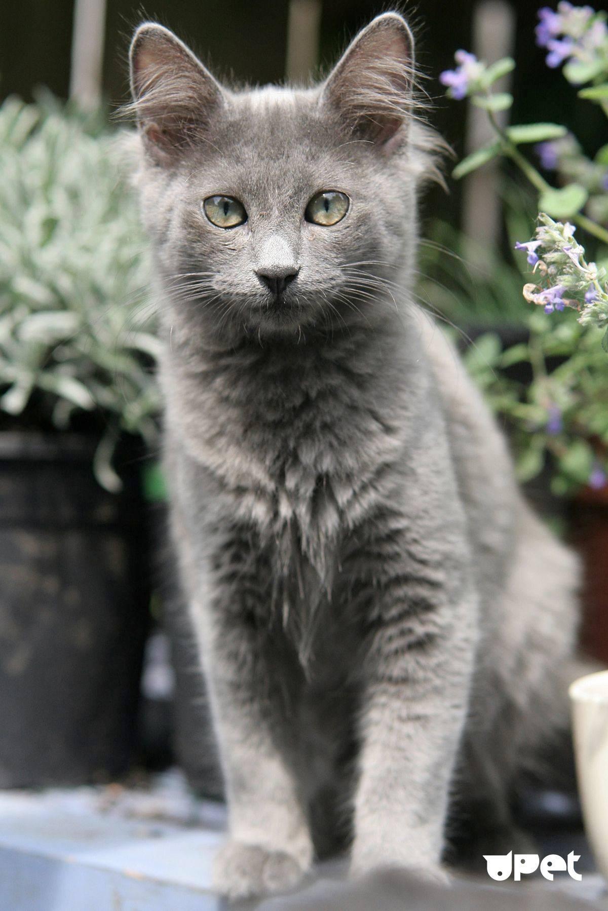 Нибелунг кошка: роскошная шерсть и грациозный взгляд