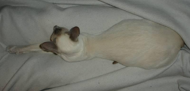 Сколько ходят беременные кошки – сроки вынашивания потомства у разных пород